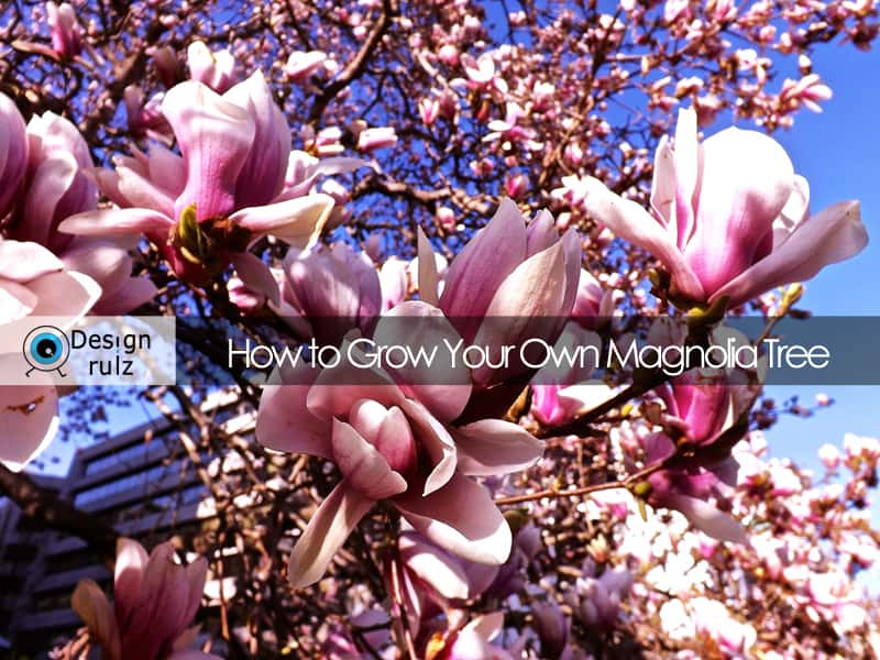 DIY: How to Grow Your Own Magnolia Tree
