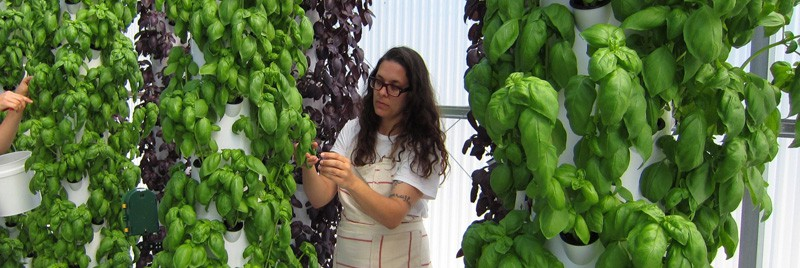 Katherine Grandey harvests locally grown basil at The GreenHouse