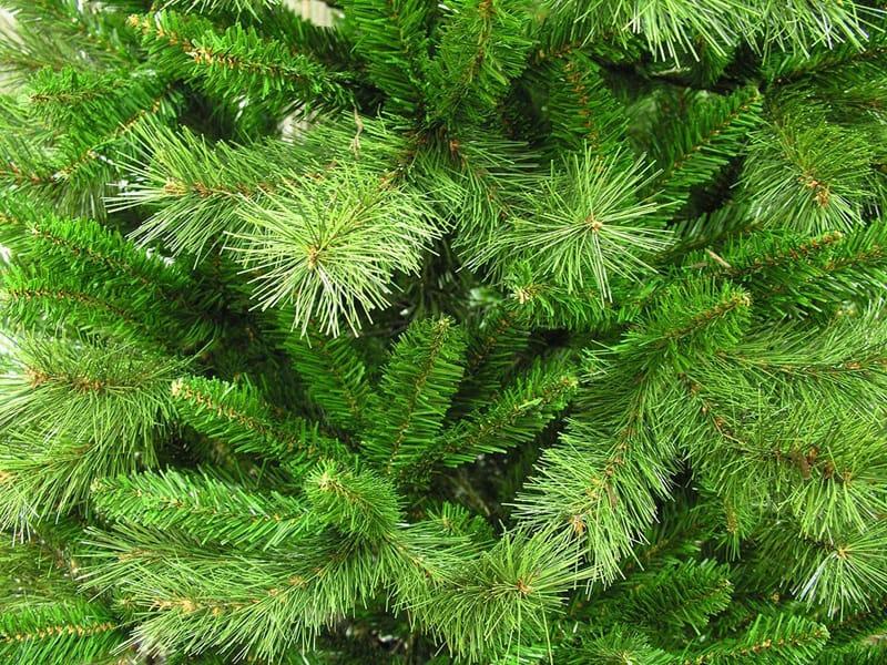 boulder-pine