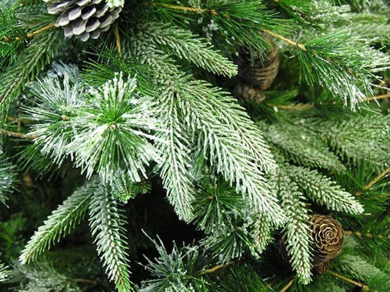 liberty-pine-closeup