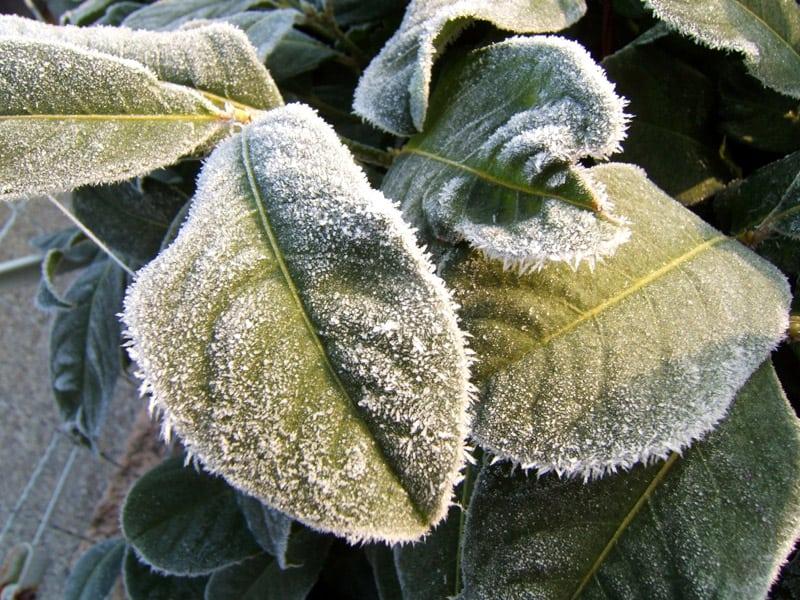 Frosty-Plants