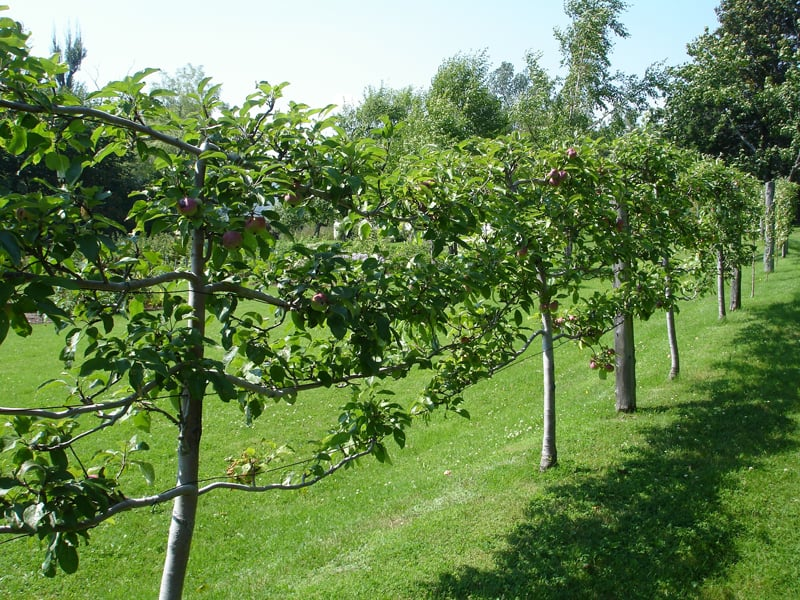 Espaliered fruit trees-designrulz (5)