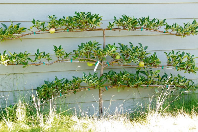 Espaliered fruit trees-designrulz (6)