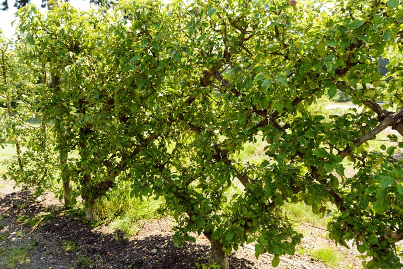 Espaliered fruit trees-designrulz (9)